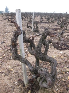 gnarled Gamay vines in a winter landscape