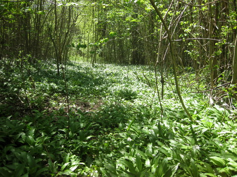 'Tis the season for wild garlic