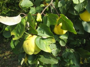 quince on tree small