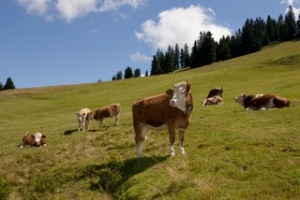 Simmentaler cows in the Bernese Oberland, photo by Nikos Kapelis