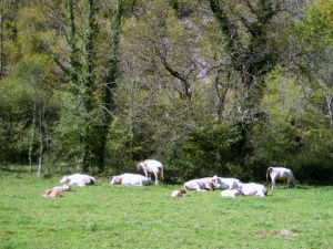 Charolais cows in Jura