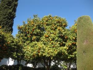 1-bitter oranges  Alcazar gardens Cordoba