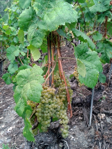 Amigne grapes ripening in Cave la Madeleine vineyards