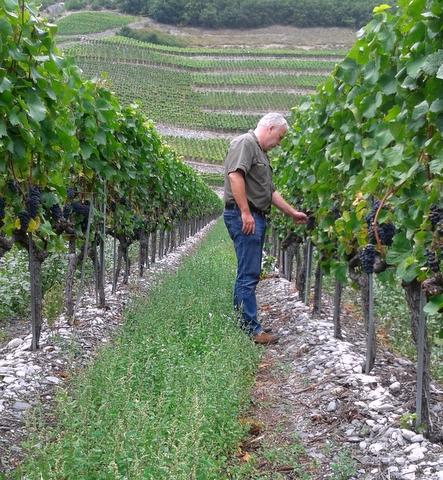 André Fontannaz, vigneron-encaveur in Vetroz, inspecting his Pinot Noir grapes