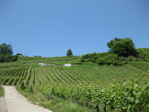 Vineyards of Cru de l'Hopital, Vully