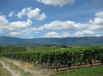 Typical Geneva vineyard landscape