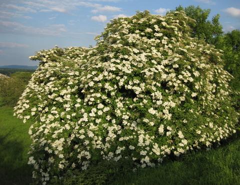 Elderflowers' brief but beautifulmoment