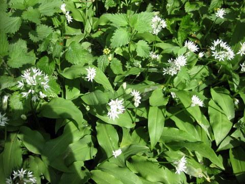 Green is Beautiful: Wild Garlic isBack!